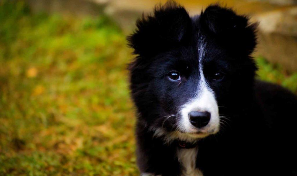 il border collie cuccioli