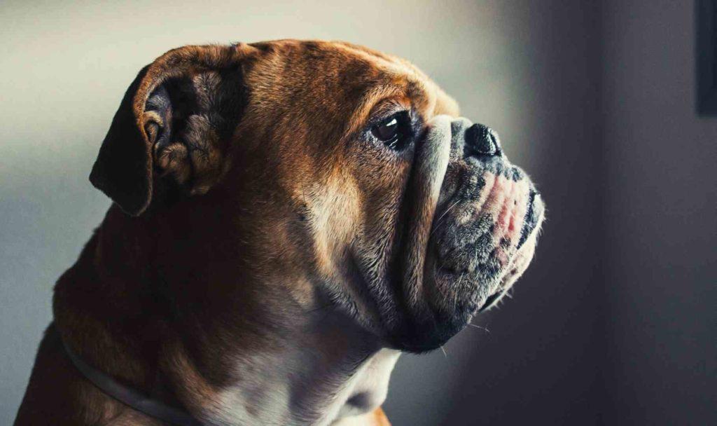 il bulldog inglese razza