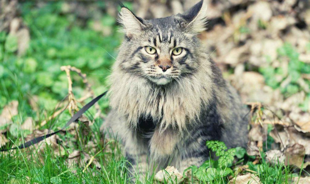 main coon gatto caratteristiche